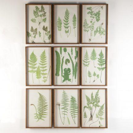 Set of ferns by Henry Bradbury